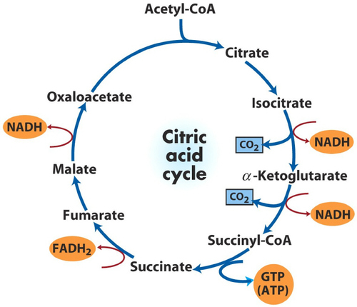 Krebs Cycle - Cellular Respiration
